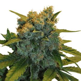 Skunkfrø medicinsk cannabisfrø Sensi Star CBD