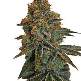 Medicinsk Skunkfrø medicinsk cannabis CBD Botanic CBD D Diesel Feminiserede