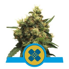 Medicinsk cannabis Pain Killer XL cannabis frø CBD Royal Queen Seeds