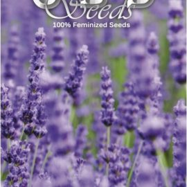 Medicinsk cannabisfrø Lavender CBD Seeds Skunkfrø