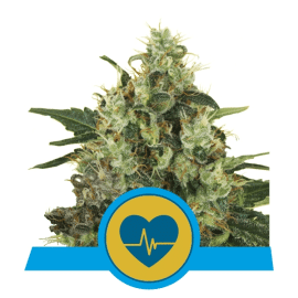 Medicinske cannabis frø Medical Mass Skunkfrø Royal Queen Seeds
