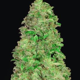 Medicinske cannabisfrø CBD Auto 20-1 Fast Buds