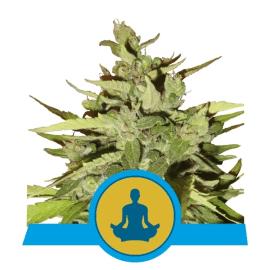 Medicinske cannabisfrø Stress Killer Auto CBD Skunkfrø