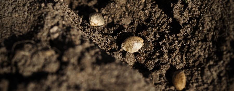 Såning af cannabisfrø direkte i jord