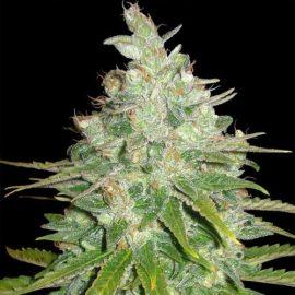 Skunkfrø Black Domina Auto cannabisfrø Sagarmatha Seeds