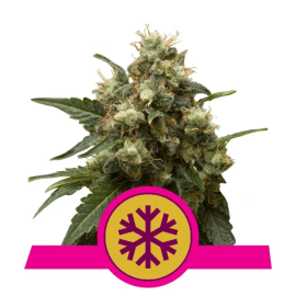 Skunkfrø Ice cannabisfrø Royal Queen Seeds