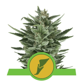 Skunkfrø Quick One Autoblomstrende Cannabisfrø Royal Queen Seeds (2)