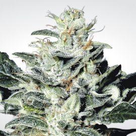 Skunkfrø Sensi Star Cannabisfrø Paradise Seeds
