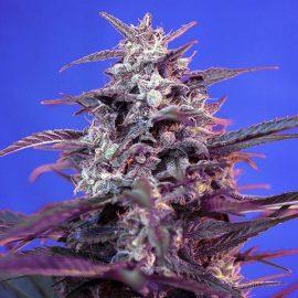 Skunkfrø udendørs Bloody Skunk Auto cannabisfrø Sweet Seeds