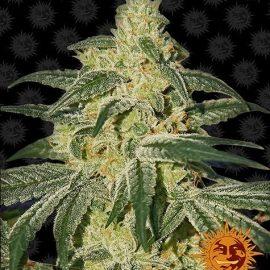 Skunkfrø Afghan Hash Plant Regulære Cannabisfrø Barneys Farm