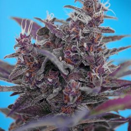 Skunkfrø Black Cream Auto cannabisfrø Sweet Seeds