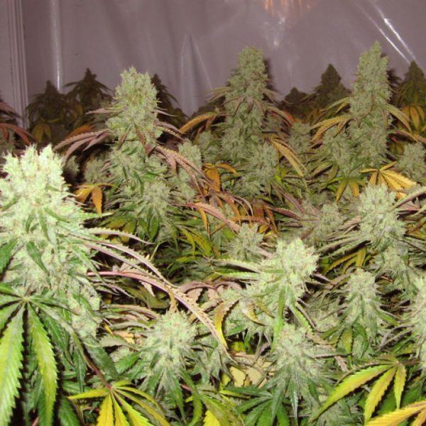 Skunkfrø Ice Cream Cannabisfrø Paradise Seeds