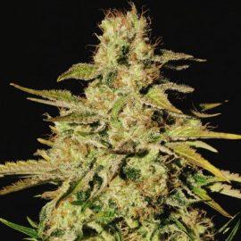 Skunkfrø Jacky White Cannabisfrø Paradise Seeds