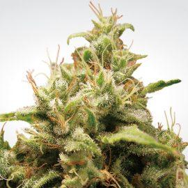 Skunkfrø Opium Cannabisfrø Paradise Seeds (2)