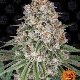 Skunkfrø Tropicanna Banana Cannabisfrø Barneys Farm