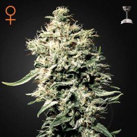 Skunkfrø White Rhino feminiserede cannabisfrø Green House Seeds
