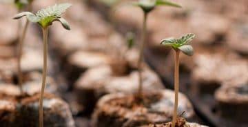 8 typiske fejl ved spiring af cannabisfrø