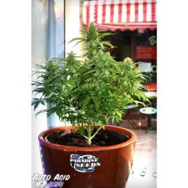 Auto Acid skunkfrø cannabisfrø Paradise seeds