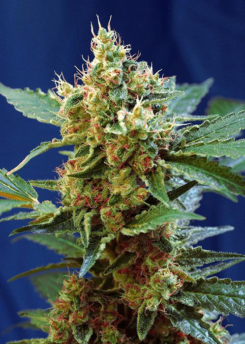 Cream Mandarine XL Auto Sweet Seeds cannabisfrø skunkfrø