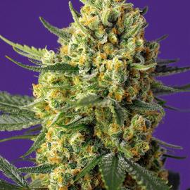 Crystal Candy XL Auto Sweet Seeds cannabisfrø skunkfrø