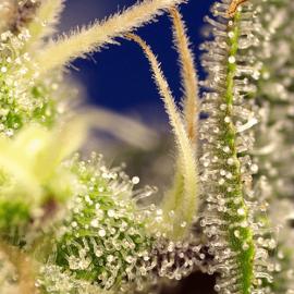 Green Poison XL Auto Sweet Seeds skunkfrø cannabisfrø