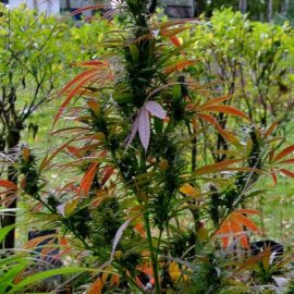 Purpura Regina Bald Monkey Seeds regulære udendørs indendørs skunkfrø