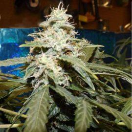 Skunkfrø Short Rider autoblomstrende cannabisfrø Nirvana Seeds