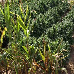 Guerilla dyrkning grow cannabis (2)