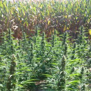Guerilla dyrkning grow cannabis