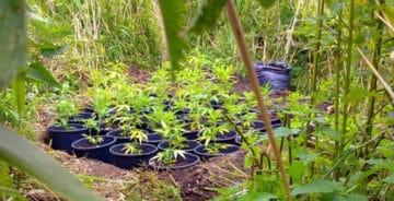 Guerilla-dyrkning af cannabis: Hvor og hvordan?