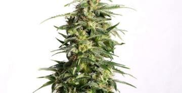 Nordland CBD Auto medicinske cannabisfrø