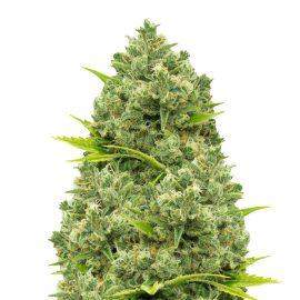 Nordland CBD cannabisfrø medicinske skunkfrø