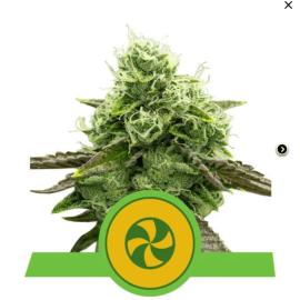 Sweet ZZ Automatic Royal Queen Seeds skunkfrø cannabisfrø (3)
