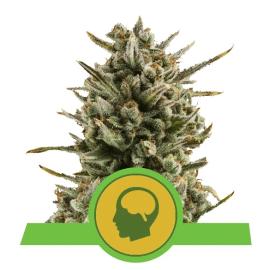 Amnesia Haze Automatic Royal Queen Cannabis Skunkfrø