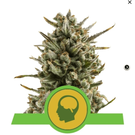 Skunkfrø cannabisfrø Amnesia Haze Automatic Cannabis Seeds - Royal Queen Seeds