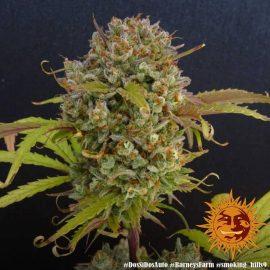 Dos Si Dos Auto Barney's Farm cannabisfrø skunkfrø