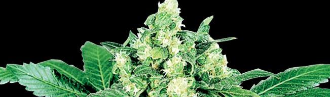 Afghani skunkfrø cannabisfrø Sensi Seeds