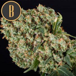 Grandaddy Purple Blimburn Seeds cannabisfrø skunkfrø (2)