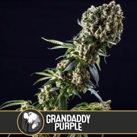 Grandaddy Purple Blimburn Seeds cannabisfrø skunkfrø