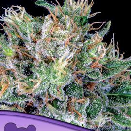 Amnesia Flash Anesia Seeds cannabisfrø skunkfrø