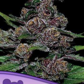 Auto Blackberry Moonrocks Anesia Seeds skunkfrø cannabisfrø