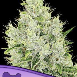 Auto Lemongrass Anesia Seeds cannabisfrø skunkfrø