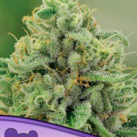 Banana Kush Anesia Seeds cannabisfrø skunkfrø