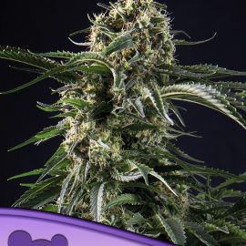 Big Bazooka Anesia Seeds cannabisfrø skunkfrø