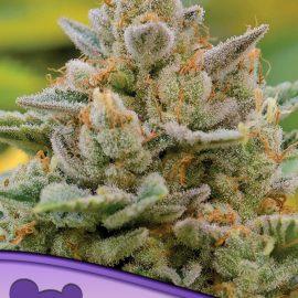 Big Bazooka Auto Anesia Seeds cannabisfrø skunkfrø