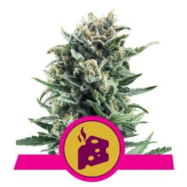 Blue Cheese Royal Queen Cannabisfrø Skunkfrø