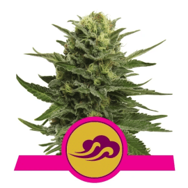 Blue Mystic Royal Queen Cannabisfrø Skunkfrø