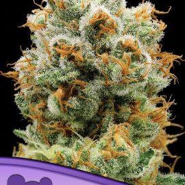 Bola Mintz Anesia Seeds cannabisfrø skunkfrø