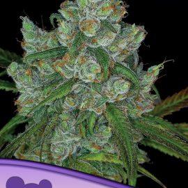 Bruce Banner #3 Anesia Seeds cannabisfrø skunkfrø