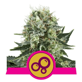 Bubble Kush Royal Queen Cannabisfrø Skunkfrø